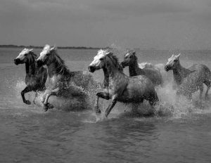 Jane Koester photo from our day with the White Horses of the Camargue